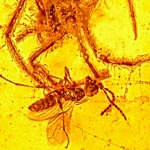 This amazing 100 million year-old amber fossil shows a spider attacking prey in its web