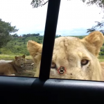Your worst nightmare is this lion opening a f*cking car door with its mouth