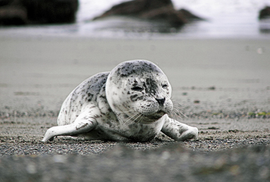 deadstate Baby harbor seal